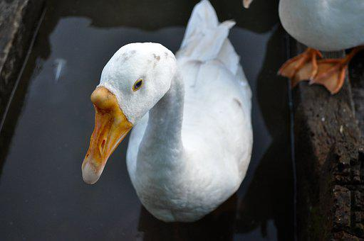 Ducks, Bird, Duck, Nature, Swan, Water, Mallard