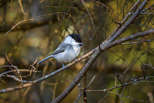 Willow Tit, Poecile Montanus, Bird