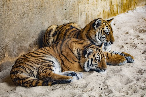 Tiger, Zoo, 2 Of 3, Brothers And Sisters, Young Animal