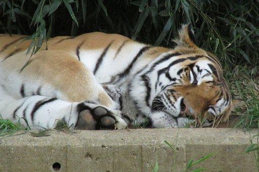 Tiger, Cat, Animal, Predator, Dangerous, Fur, Nature