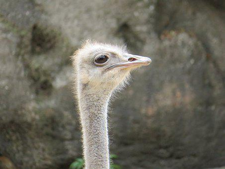 Ostrich, Bird, Feather, Nature, Animal