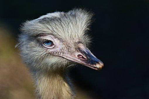 Greater Rhea, Flightless Bird, Animal, Beak, Eye