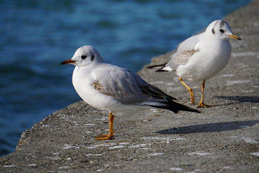 Seagull, Attersee, Bird, Nature, Austria, Animal World