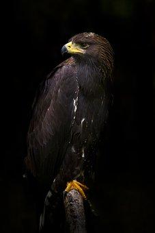 Eagle, Golden Eagle, Golden, Bird