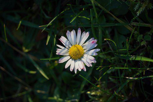 Daisy, Meadow, Blossom, Bloom, Nature, Spring, Grass