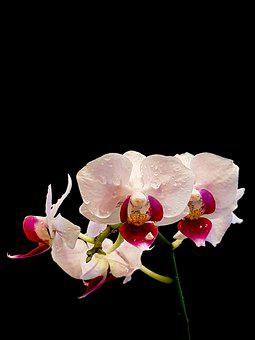 Flower, Orchid, Blossom, Bloom, Plant, Close Up, Exotic