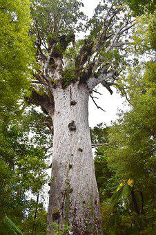 Kauri Tree, Big Tree, Nature, Auckland, Plant, Botany