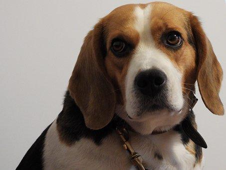 Dog, Beagl, Assistant, Nice, Portrait, Animals, Brown