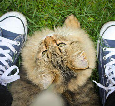 Cat, All Stars, Shoes, Chuck's, Norwegian Forest Cat