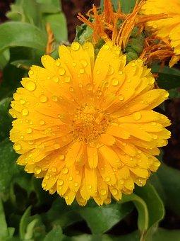 Yellow Flower, Flower, Yellow, Chamanti Flower