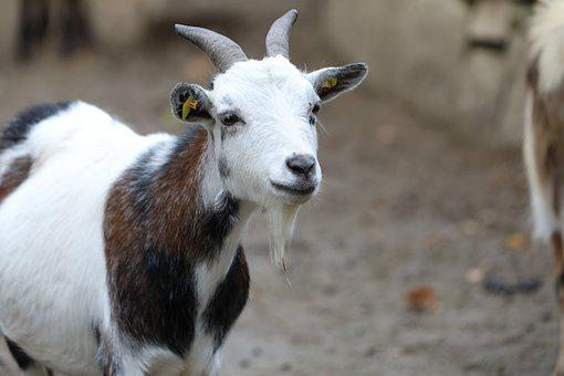 Goat, Zoo, Colorful, White Brown, Kid, Face, Head, Neck