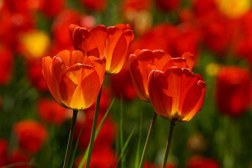 Tulips, Red, Garden, Colorful, Spring Flower