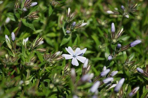 Phlox, Purple, White, Upholstery, Summer, Flower Garden