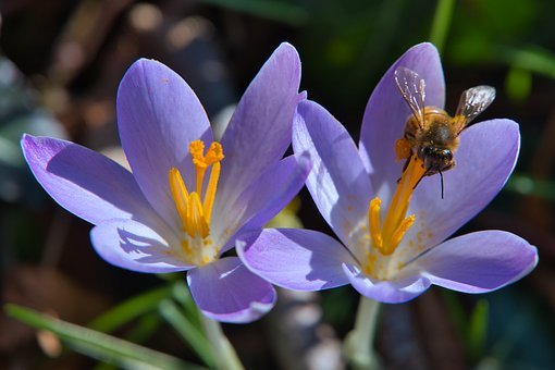 Forest, Forest Floor, Crocus, Bloom, Early Bloomer, Bee
