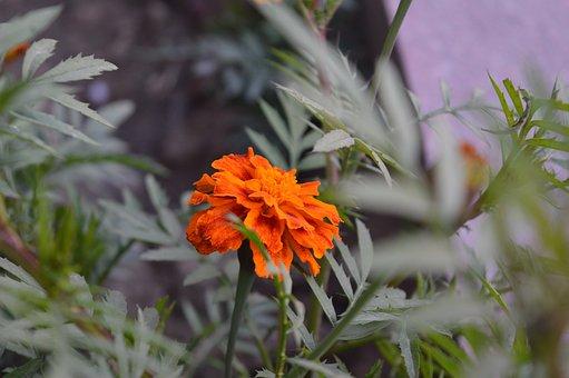 Genda, Flower, Nature, India, Marigold, Yellow, Plant