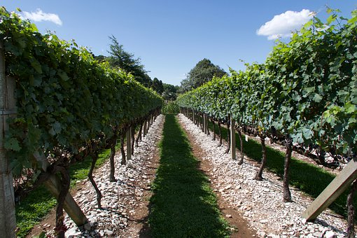 The Vines, Grapes, Vineyard, Viticulture, Cacho
