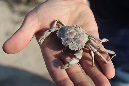 Crab, Cancer, North Sea, Hand, Shellfish, Sea