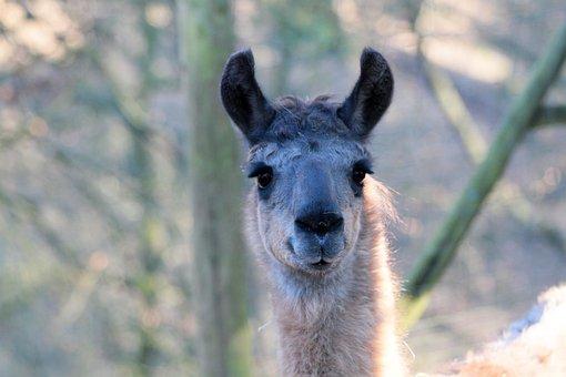 Lama, Wildlife Park, Deer Park, Herborn