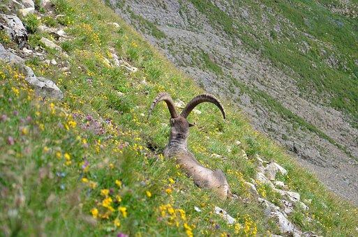Ibex, Mammal, Mammals, Horn, Capricorn, Alpine