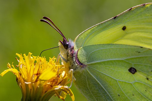 Common Brimstone, Insect, Nature, Butterfly - Insect