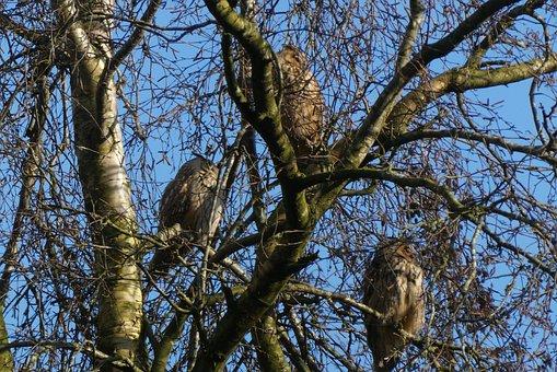 Ransuilen, Forest, Long-eared Owl, Bird Of Prey, Bird