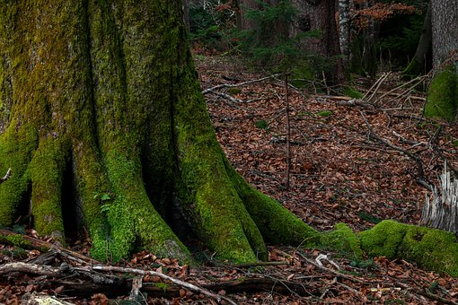 Beech, Tribe, Moss, Root, Nature, Forest, Wood, Leaves