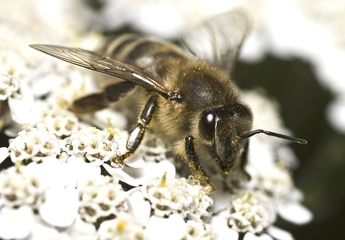 Bee, Macro, Closeup, Nature, Forest, Fly, Insect, Pest