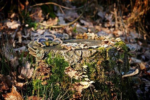 Tree Stump, Tree Fungus, Forest, Autumn, Nature