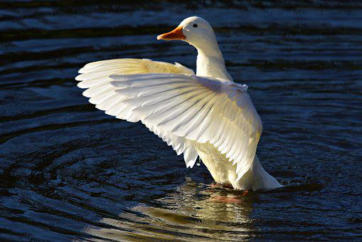 Pekin Duck, Water Bird, Animal, Feather