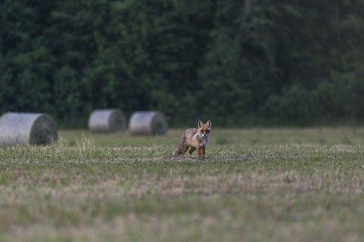 Red Fox, Vulpes Vulpes, Mammal, Nature, Portrait