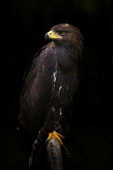 Eagle, Golden Eagle, Golden, Bird, Raptor, Bird Of Prey
