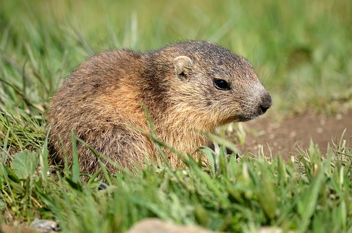 Marmot, Baby, Marmotton, Rodents, Hairy, Small, Cute