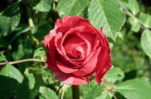 Rose, Flower, Red, Plant, Beauty, Love