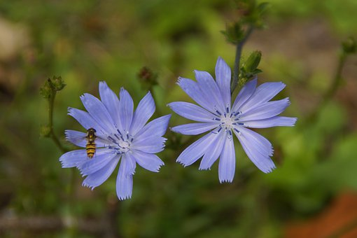Chicory, Pointed Flower, Blue, Summer, Wild Flower