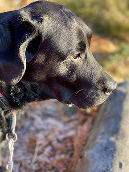 Labrador, Dog, Kind, The World's Best, Portrait, Sweet