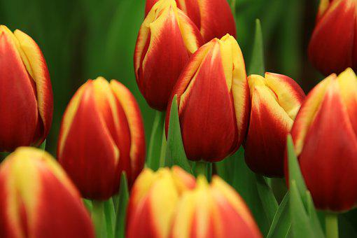 Tulips, Tulip, Flowers, Netherlands