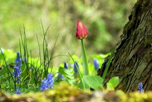 The Beginning Of Spring, Tulip, Spring