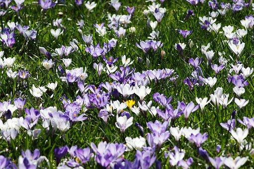 Crocus, Meadow, Early Bloomer, Flowers, Purple, Violet