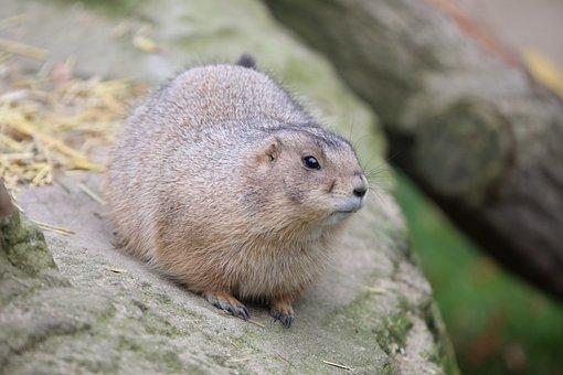 Prairie Dog, Zoo, Black-tailed Prairie Dog, Marmot