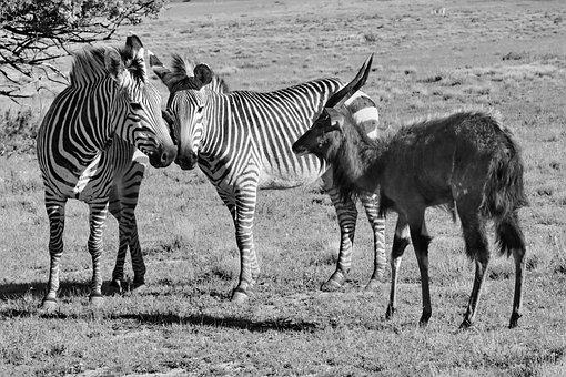 Harmtanns, Zebras, Stripes, Black And White, Africa
