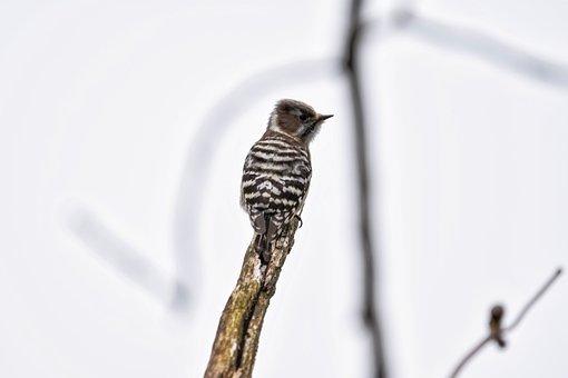 Animal, Wood, Bird, Wild Birds, Woodpecker, The Game