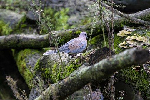 Dove, Zoo, Palm Dove, Bird, Undergrowth