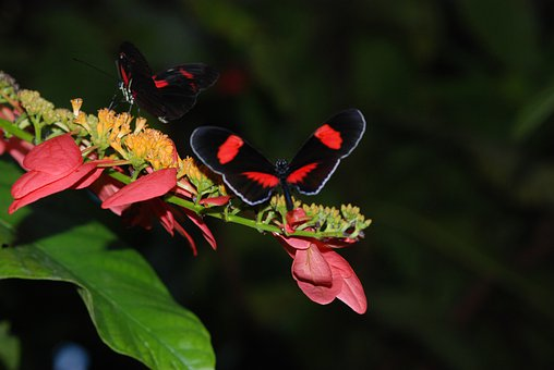Butterflies, Pair Of Butterflies, Red, Black, Small