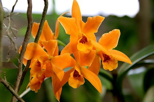 Orchid, Color Orange, Plants, Flowers, Botany