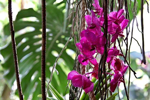 Orchid, Color Pink, Suspended, Epiphyte