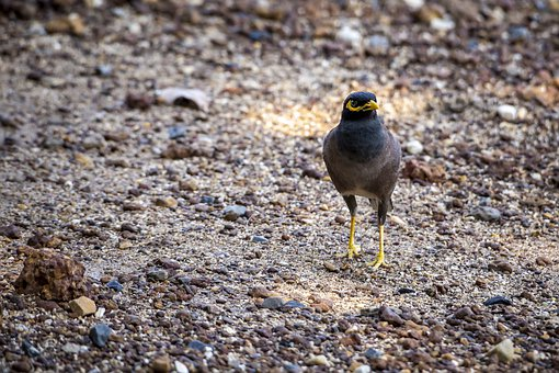 Acridotheres Tristis, Common Myna, Bird, Standing, Gray