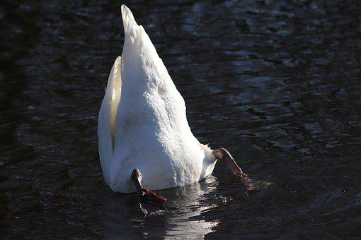 Swan, Mute Swan, Diving, Upside Down