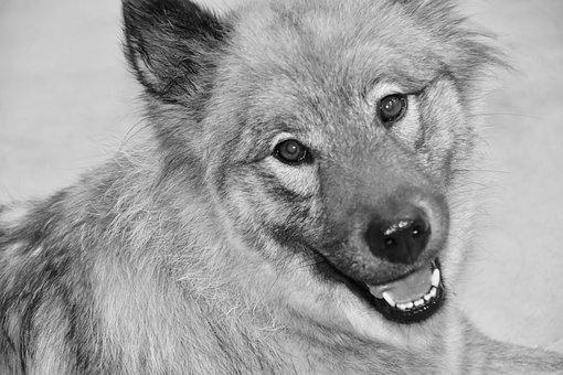 Dog, Dog Eurasier, Portrait Dog Black And White