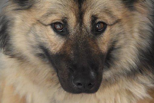 Dog, Dog Eurasier, Dog Pure, Dog Portrait