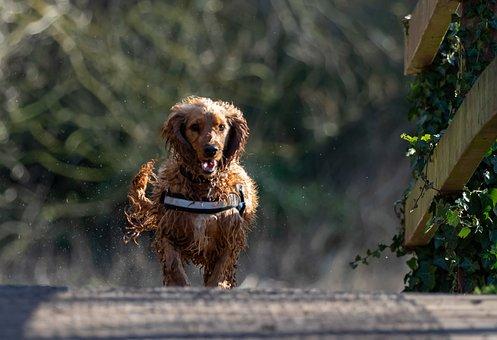 Wet Dog, Running Dog, Dog, Put, Spaniel, Wet, Water